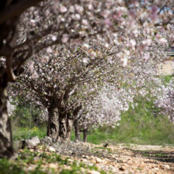 Israel In Bloom